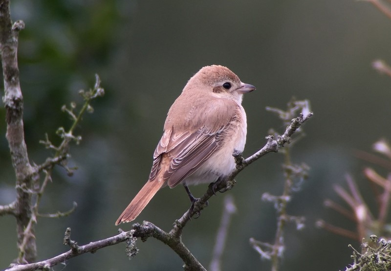 Isabelline Shrike – Norfolk, October 2015 ©The Bird ID Company